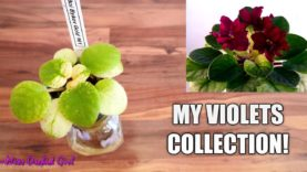 My new African Violet Collection! (Chill bonus video)
