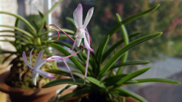 Neofinetia Shoujou blooms and new neos from Flora Peculia