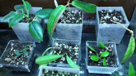 New hoya cuttings from ebay and online store