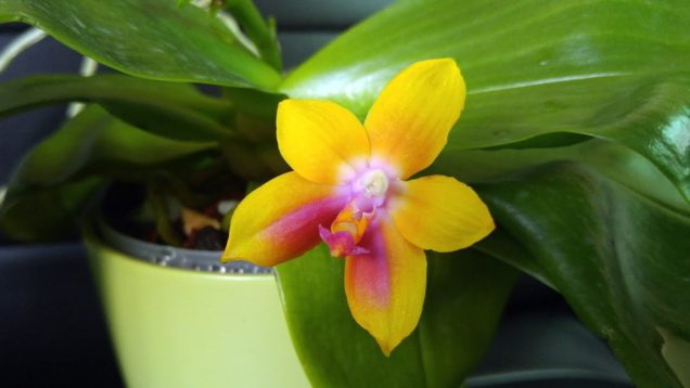New Phalaenopsis orchids from Kingfisher Orchids