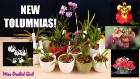 New Tolumnia Orchids! + Collection Update after losing ALL my Tolumnias