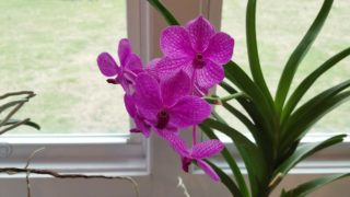 New Vanda blooms!  And things I couldn't wait to share in my orchid collection!
