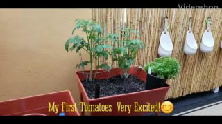 Orchid and garden: My Indeterminate Tomatoes