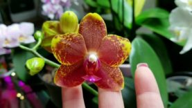 Orchid Blooms for Valentine's Day