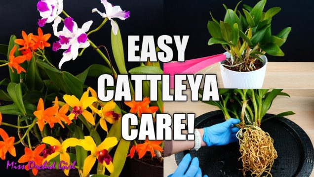 Orchid Care for Beginners – Cattleya Orchids | Watering, Repotting, Reblooming & more!