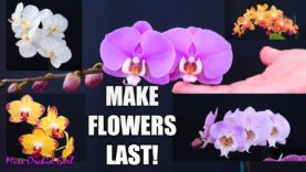 Orchid Care for beginners – How to make Phalaenopsis Orchid flowers last longer