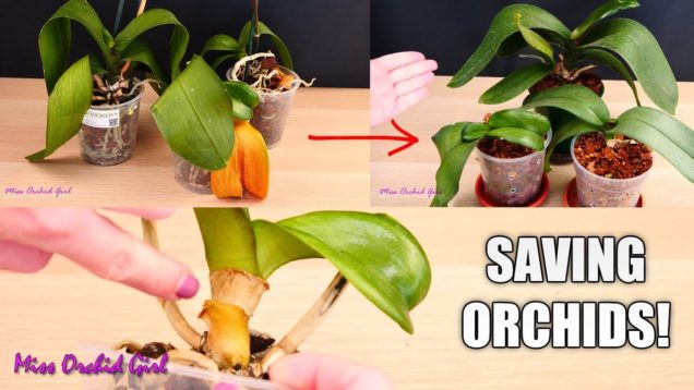 Orchid Care for Beginners – How to save sick, rootless Phalaenopsis Orchids | Before & After!