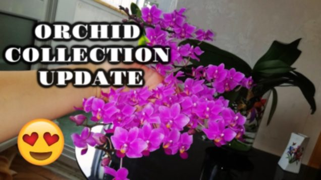 Orchid Collection Update: Burned Leaves, Spider Mites & Amazing Blooms