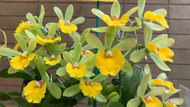 Orchid Haul – 2020 Orchids in Focus 68th Annual Pacific Orchid Expo