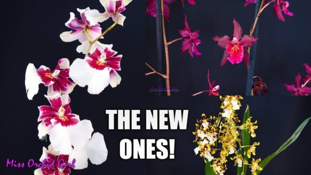 Orchid haul – Flower Shop finds! + Big Lip Phalaenopsis with terminal spike
