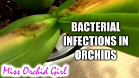 Orchid maintenance – Yellowing leaves and pseudobulbs, how & when to remove