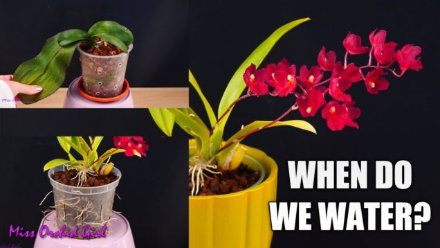 Orchid Seminar #2 – When do Orchids really need watering?   Drought adaptations & more!