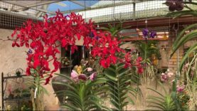 Orchid Shopping, RF Orchids 20% Off Sale , Nursery Tour October 2020