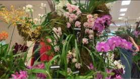 Orchid Show, Boca Raton Orchid Society Valentine's Show and Sale Day1