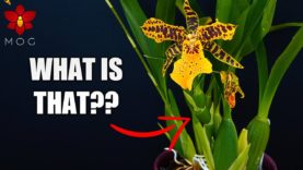 Orchid Updates –  Orchid with 5 flower spikes, weird spike on Aliceara & more!