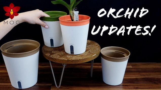 Orchid Updates – Plant Room renovation, new pots, tallest Cattleya ever & more!