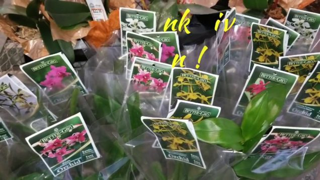 Orchids: Happy Thanksgiving at the Home Depot