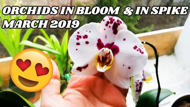 Orchids In Bloom And In Spike In March 2019 – 5K Subscribers – Giveaway comming soon