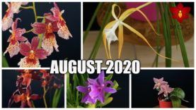 Orchids in Bloom – August 2020 | Beautiful Houseplants anyone can have!