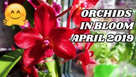 Orchids in Bloom in April 2019 – The Star of the Show – Vanda Roll on Red