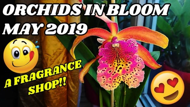 Orchids In Bloom In May 2019 – The Fragrance Shop Is In My House