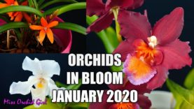 Orchids in bloom – January 2020 + Orchid of the year 2019!