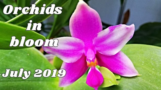 Orchids In Bloom July 2019 – Delicious Fruity Fragrances