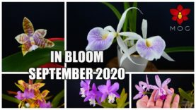 Orchids in Bloom – September 2020 | 25 Orchids to vote for!