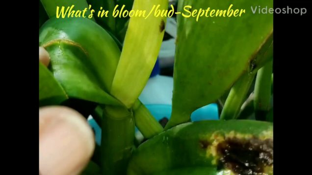 Orchids: September-What's in bloom, bud and sheath.
