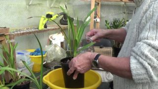 Orchids…watering, feeding and snipping