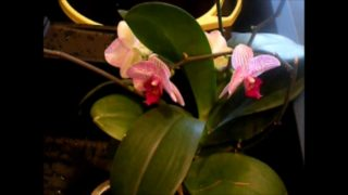 ORCHIDS WINTER CARE – WATERING AND FERTILIZING