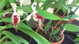 Our Monthly orchid show Pt. 2.