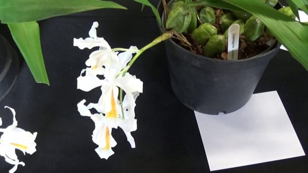 Our Monthly Show of Orchids.
