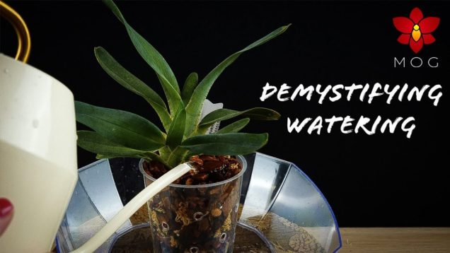 Overwatering Orchids, wet feet, water from above ? 🤔 | Demystifying Watering for Beginners