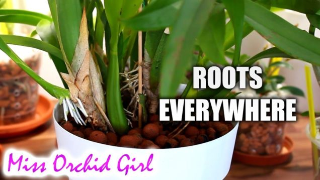Curious things Orchids do #2 Beginner's Edition – Climbers, descender, root behavior
