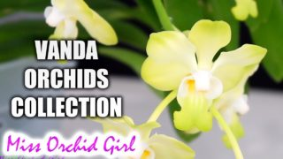 My Vanda Orchids Collection – Summer 2017