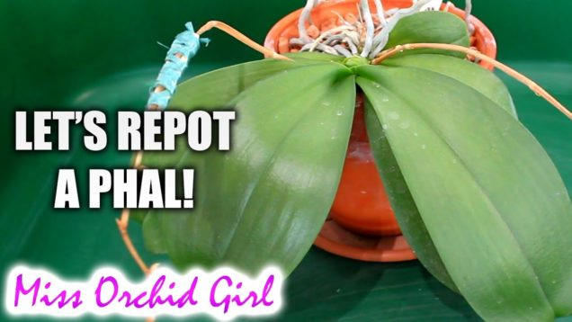 Repotting Phalaenopsis Orchid in clear plastic pot – The last of the clay pots