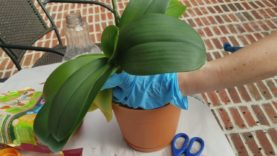 Watch me re-pot my gigantic phalenopsis orchid in bark…Part 2 of 2 videos.