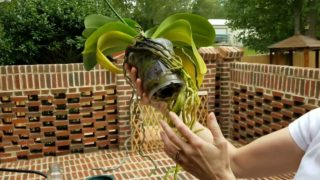 Watch me re-pot my gigantic phalenopsis orchid in bark…Part 1 of 2 videos.