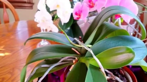 New growth on orchids, keiki on mini phalenopsis.