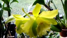 Cattleya orchid -Blc. Ports of Paradise