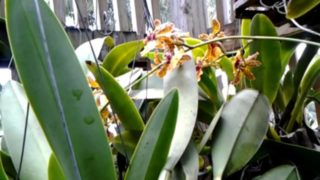 Orchids growing in shadehouse.