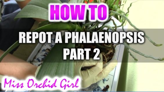 How to repot a Phalaenopsis Orchid Part 2