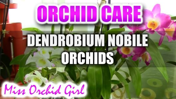 Orchid care – How to care for Dendrobium Nobile Orchids – watering, fertilizing, reblooming