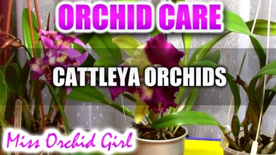 Orchid Care – How to care for Cattleya Orchids – watering, fertilizing, reblooming