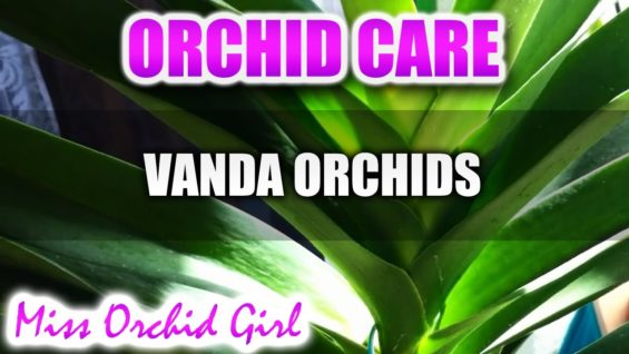Orchid Care – How to care for Vanda Orchids – watering, fertilizing, reblooming