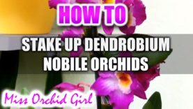 How to stake up Orchids Part 2 (Dendrobium Nobile Orchids)