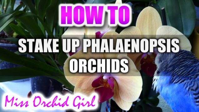 How to stake up Orchids Part 1 (Phalaenopsis Orchids)