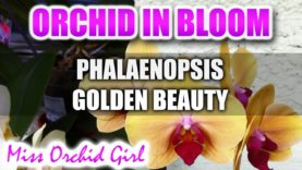 Phalaenopsis Golden Beauty Orchid in full bloom