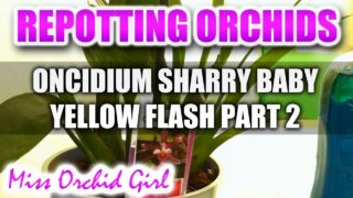 Repotting Orchids – Oncidium Sharry Baby Yellow Flash Part 2